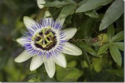 220px-Passionflower2