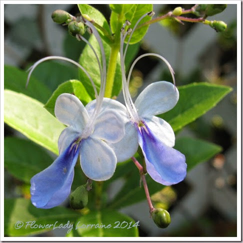 05-05-blue-butterfly