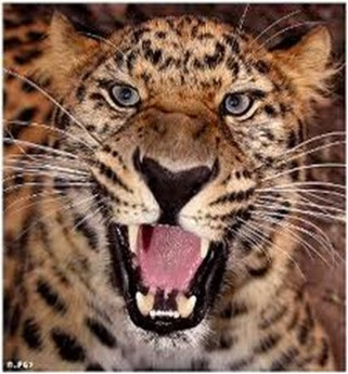Amazing Pictures of Animals, Photo, Nature, Incredibel, Funny, Zoo, Leopard,Panthera pardus, Mammals, Carnivora, Alex (8)