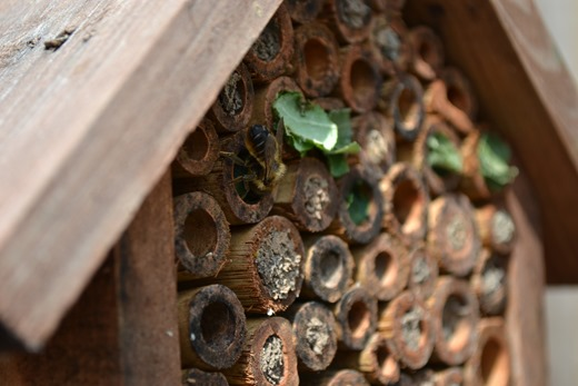 Leaf-cutter bees sharing the insect house with Mason bees