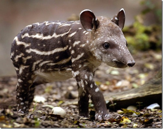 SWITZERLAND ZOO TAPIR BABY