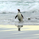 Yellow Eyed Penguin Coming In From the Ocean - Otago Peninsula, New Zealand
