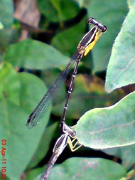 damselfly mating_capung jarum kawin 4