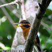 Rufous-Collared Kingfisher-01.jpg