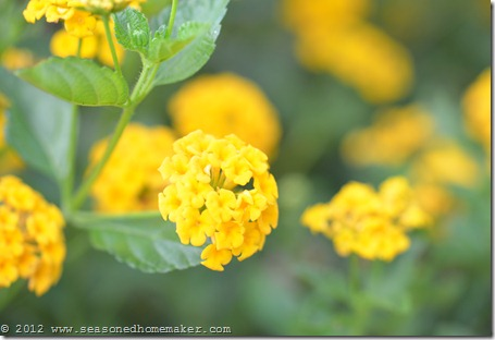 New Gold Lantana 1