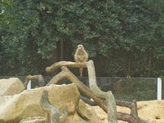 2013.10.26-019 suricate