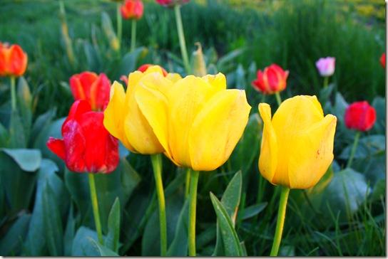 Lilacs 037