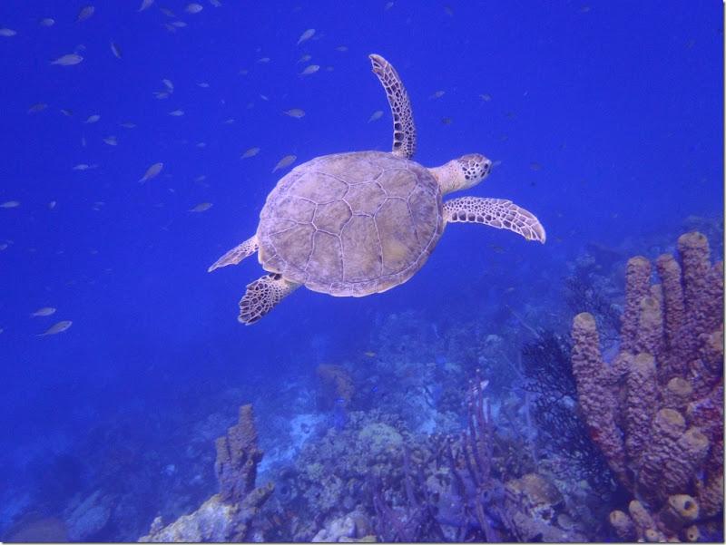 023h turtle vor blau