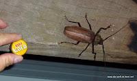 Ein etwas größerer Käfer in Mission Beach