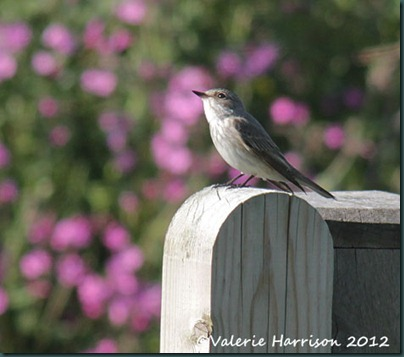 spotted-flycatcher-1