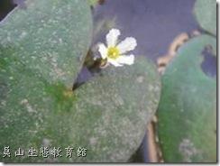 小莕菜的花瓣邊緣呈鬚毛狀