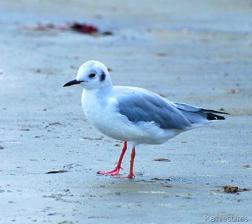 5. bonaparte's gull-kab
