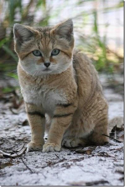 gato de arena cosasdivertidas info (4)