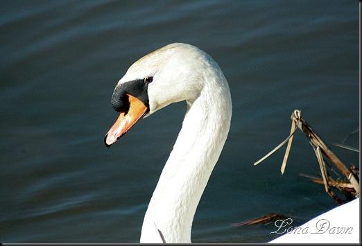 LL_Swan5_2012
