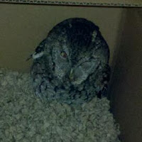 Owl Rescue and Release