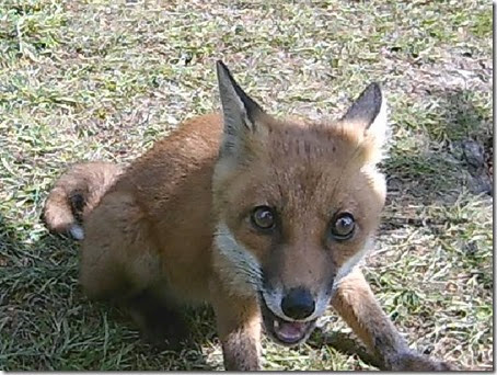 Fox cam