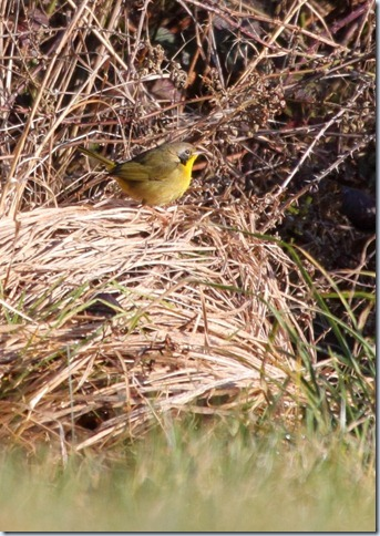 yellowthroat2