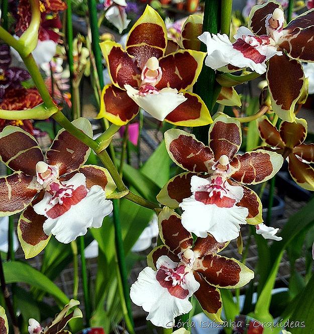 Glória Ishizaka - orquideas 11