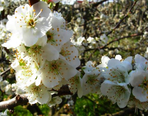 fiori di ciliegio jpg fiori di ciliegio punta campanella 30 3 08 ...