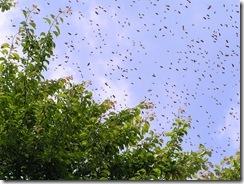 Rojení  a velikost včelstva 035