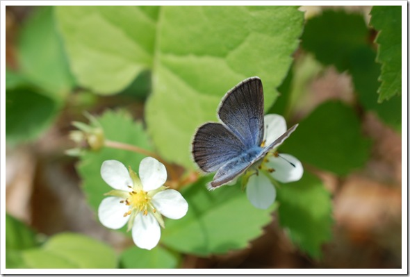 BUTTERFLY BLUE (12)