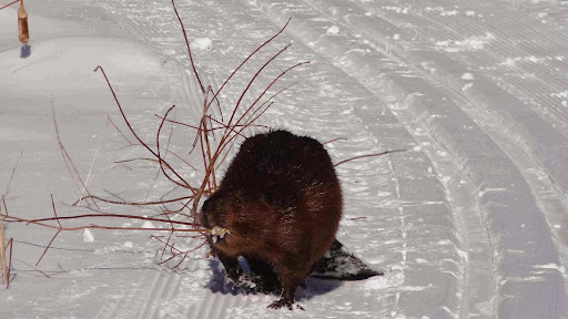 Beaver walking down the ski trail with a fresh cut sapling