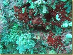 Coral crop