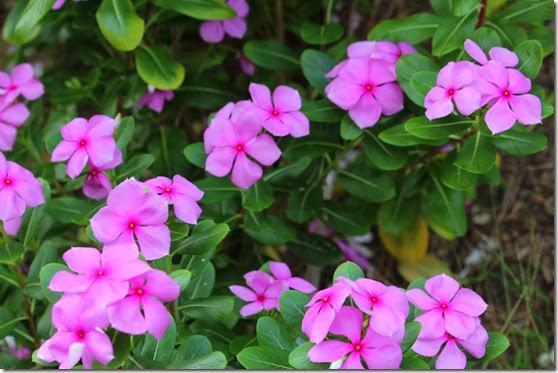 Catharanthus (Madagascar Periwinkle)