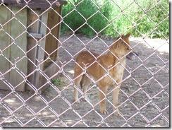 2012.06.02-024 dingo