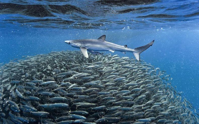 shark-and-mackerel-2
