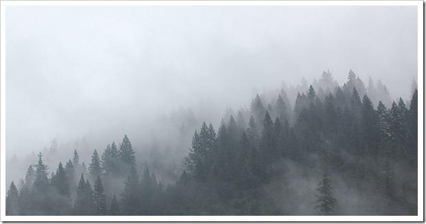 111123_conifers_in_fog