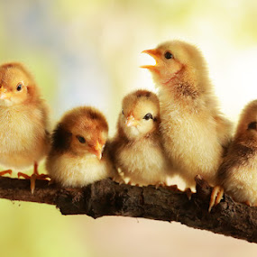 Group portrait of cute chicks by Prachit Punyapor - Animals Birds ( newborns chicks, lovely animals, animals, group of cute, nice backgrounds, group of chicks, beautiful animals, nice animals, cute animals, cute chicks, adorable animal, adorable chicks, amazing chicks, family, cutes, group, chicks )