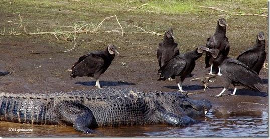 Myakka big gator 021
