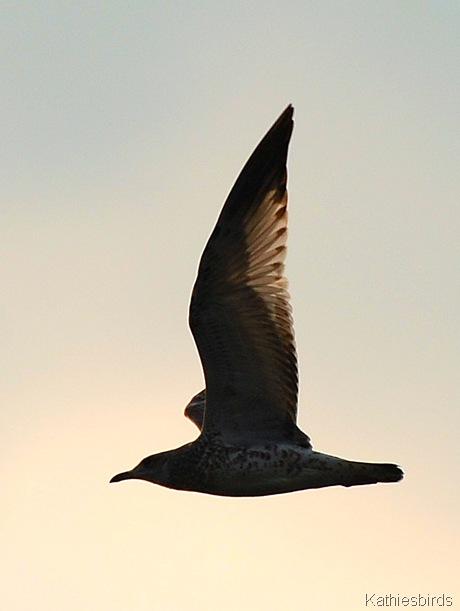 4. Juvenile Herring gull-kab
