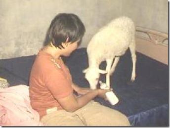 kambing-pemakan-nasi-kerupuk-dan-susu