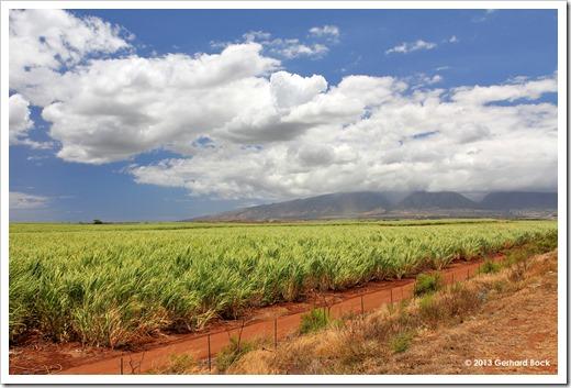 130715_Hwy37_sugarcane_005a
