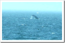 3.22.2012 Herring Cove Provincetown whale fin