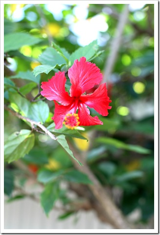 Jamaica Flower IMG_6099