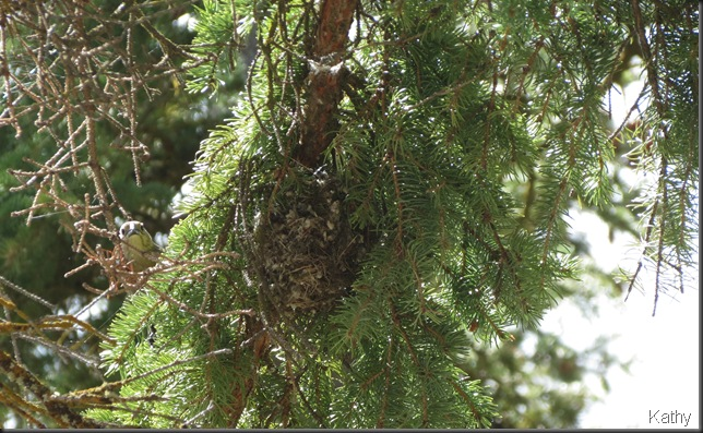 Brown-headed Cowbird approaching Kinglet nest