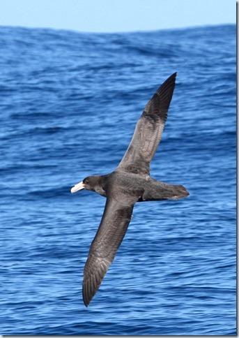southern_giant_petrel2