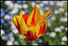 W-tulip_edited-1_thumb2