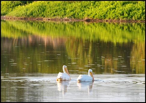 08e - Eco Pond - White Pelicans