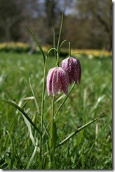 Great Dixter 8.4.09 (52) Fritillaria meleagris