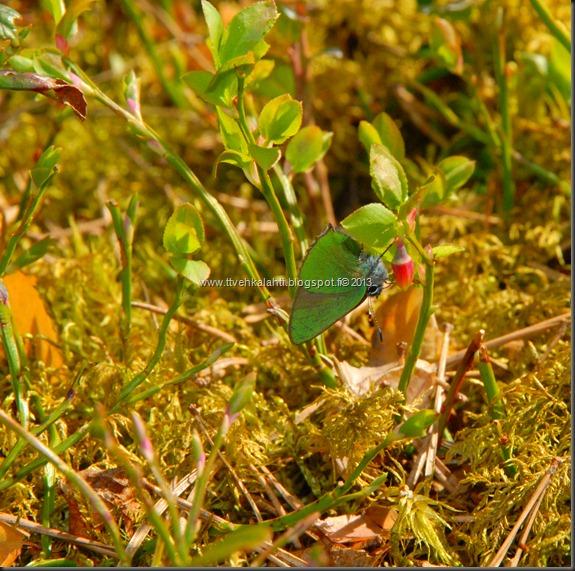 asfaltti työ vt 8 Kangasperhonen (Callophrys rubi) 062