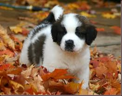 Amazing Animal Pictures St Bernard (2)