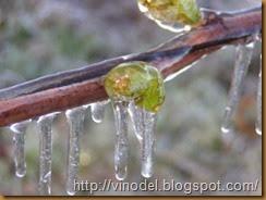 Повреждение виноградного куста весенними заморозками