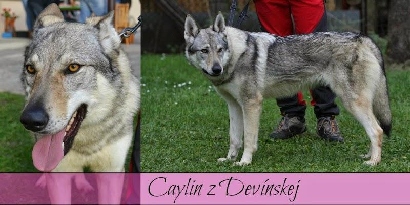 Caylin z Devínskej.jpg