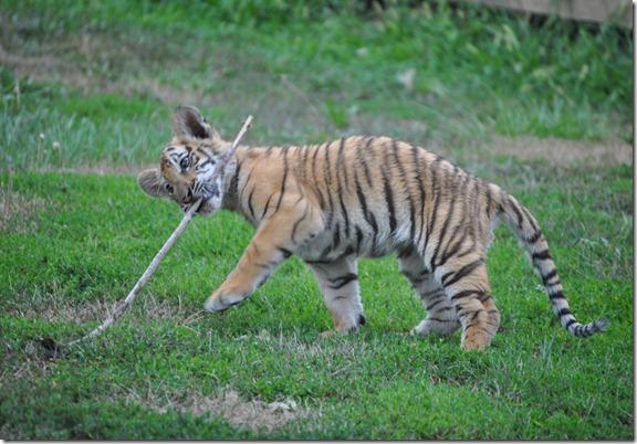 Tiger Zoo 054
