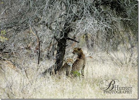 2-cheetah