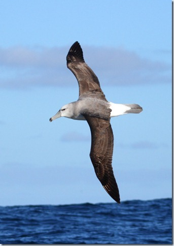shy_albatross2